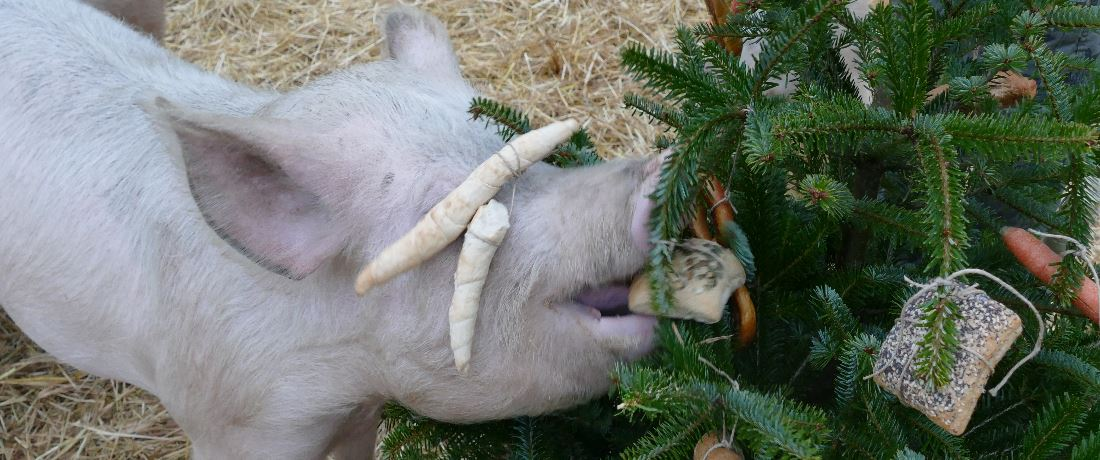 PIG CHRISTMAS PARTY, 22. 12.